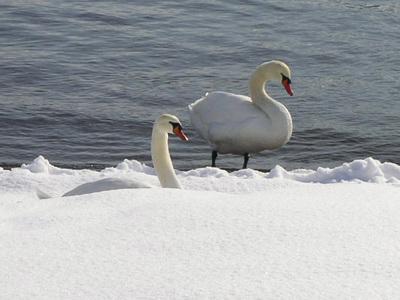 130107白鳥2.jpg