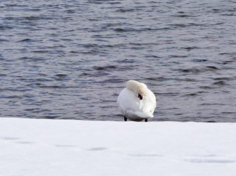 181222白鳥 (6).JPG