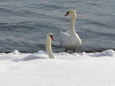 130107白鳥.jpg