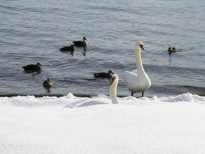130107白鳥3.jpg