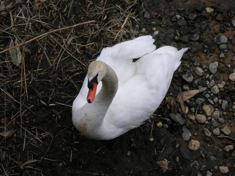 130502白鳥8.JPG