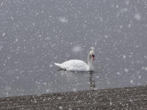 190329洞爺湖白鳥 (1).JPG