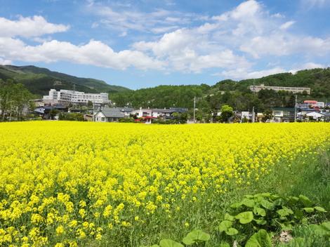 190524菜の花 (2).JPG