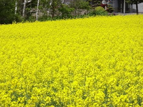 190524菜の花 (5).JPG