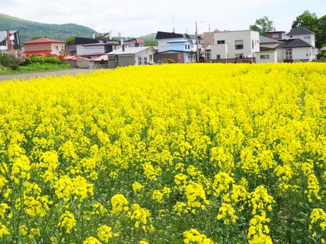 190524菜の花 (7).JPG