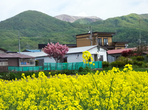 190524菜の花 (8).JPG